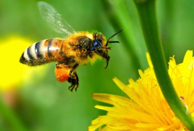Saving the Honey Bee - You can help.