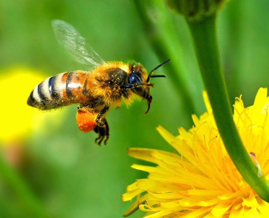 Saving the Honey Bee - You can help.